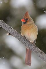 Cardinal rouge (femelle) / Northern Cardinal (female) (fpoet_63) Tags: red bird animal female rouge cardinal wildlife qubec oiseau passereau