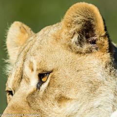 Lion d'Afrique_151201_RAS (f.chabardes) Tags: france lion animaux aude languedoc carnivores decembre africanlion classification 2015 4t mammifères pantherinae félins narbonnais vertébrés liondafrique réserveafricainesigean 013datation féliformes 005lieux 007nature eutheriensplacentaires