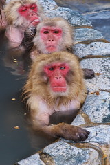 Monkey spa IV - What's with this guy taking our picture?! (kazs2307) Tags: travel nature animal monkey hokkaido  hotspring  spa hakodate
