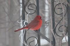 Male Cardinal (reinap) Tags: cardinal