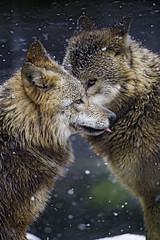 Two wolves saying hello (Tambako the Jaguar) Tags: winter two portrait dog snow cold zoo switzerland nikon wolf fluffy canine together zrich mongolian d4 canid
