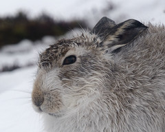 Mountain Hare -  Close Up. (Explored). (Sandy MacLennan) Tags: mmmilikeit