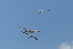 Meeuwen (Olga and Peter) Tags: gulls nederland diemen meeuwen fp1100965