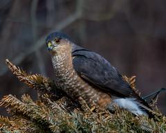 Humbug (Explored) (Fred Roe) Tags: nature birds hawk wildlife birding raptor birdwatching sharpshinnedhawk birdwatcher accipiterstriatus peacevalleypark nikonafsteleconvertertc14eii nikond7100 nikkorafs80400mmf4556ged lca71c2807