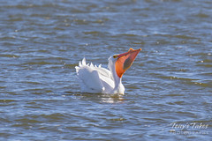 American White Pelican fishing sequence - 16 of 20