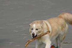 All Photos-9280 (jlh_lunasea) Tags: dog beach romeo manzanita huskador