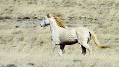 Run Topaz (prairiegirrl) Tags: wildlife wyoming mustang wildhorses greenmountainhma