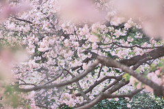 (peyt0nnn) Tags: pink flower tree japan japanese tokyo shinjuku blossom pastel cherryblossom sakura    shinjukugyoen