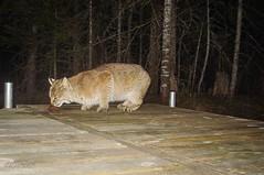 Close encounter . . . (Dr. Farnsworth) Tags: brown animal night mi fur mammal spring dock feline dusk cam flash hunting bobcat nationalgeographic fernridge trailcamera april2016