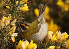 Firecrest   . A good place to hide (GrahamParryWildlife) Tags: mk2 7d sport 150600 sigma orange yellow crest grahamparrywildlife small tiny uk kent rspb dungeness firecrest bird animal outdoor songbird viewing photo flickr add