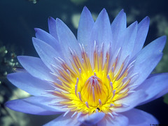 Egyptian Blue Lotus (greenladycrafts) Tags: blue yellow lotus blueflower lotusflower egyptianbluelotus egyptianbluelotusflower
