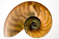 Spiral Naut (wrachele) Tags: ocean orange macro beach yellow nikon shell sealife highkey 60mm nikkor nautilus d7100