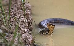 Bad Dude. (rlbarn) Tags: snake cottonmouth