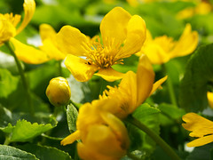 marsh marigold / king cup (mark.griffin52) Tags: england flower garden spring buckinghamshire ranunculus marshmarigold kingcup cheddington olympusem5