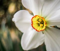 _IGP7906-Edit.jpg (DWO630) Tags: flowers beautiful garden prime virginia spring bokeh oldschool richmond va m42 manualfocus rva compactcamera lewisginter primelens lewisginterbotanicalgarden vivitar20mmf38 lgbg swirlybokeh pentaxk01