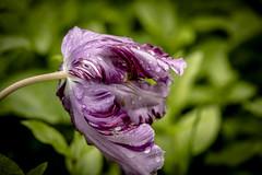 Ladeada (seguicollar) Tags: madrid flores flower macro planta plantas bokeh flor rosa desenfoque vegetal vegetacin jardnbotnico nikond5200 virginiasegu
