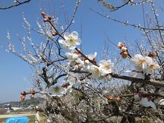 16i5359 (kimagurenote) Tags: apricot ume 梅 japaneseapricot ウメ prunusmume sogabairin 曽我梅林 神奈川県小田原市 odawarakanagawa
