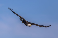 Intensity (Paul Rioux) Tags: bird nature inflight eagle feeding hunting dive baldeagle raptor predator westcoast avian birdinflight colwood westshore esquimaltlagoon