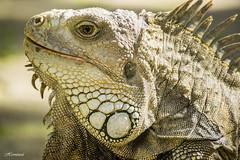 Iguana Iguana (herminsul) Tags: iguana medelln reptil