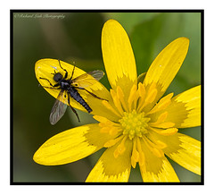 fly (Richard Leah Photography) Tags: flowers macro nature closeup fly flora insects flies sigma105mm