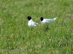 camargue-len 1 (len.sander) Tags: birds gulls