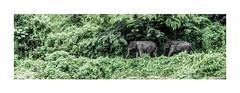 elephants highway (stilux) Tags: trees color tree green highway key jungle elefant elefants elefanten djungel djungle