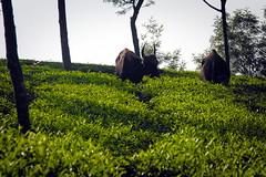 Coonoor: Tea Gardens and Bison (deepgoswami) Tags: india bison teagarden tamilnadu ooty coonoor gaur indianbison
