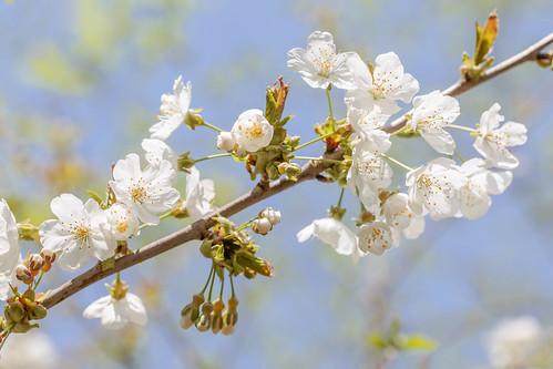 Soft cherry blossom