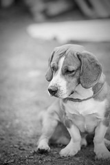Waiting for a Snack (Niks Freimanis) Tags: blackandwhite bw dog pet white black beagle monochrome 85mm baltic latvia 18 suns latvija caon 70d iekurs bigls ciekurs majdzivnieks