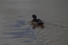 Vale Royal River Park (jharding534) Tags: ducks moulton