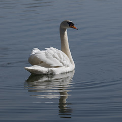 Star des ondes *---- ° (Titole) Tags: reflection water swan cygne riples friendlychallenges titole nicolefaton