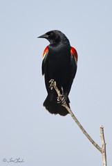 Red-winged Blackbird (TomLamb47) Tags: lake bird nature florida wildlife north shore blackbird redwinged apopka rwbl