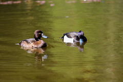 Tufted Duck Pair (jonathan_siberry) Tags: reflection male bird water birds female forest duck pond center tufted parcs whinfell