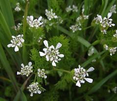 Scandix pecten-veneris (Shepherd's Needle) - flowers & leaves, Gamlingay, Cambs, 30.4.16 (respect_all_plants) Tags: wildflowers cambridgeshire cambs gamlingay shepherdsneedle scandixpectenveneris
