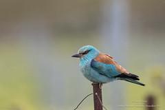 Rollier d'Europe (Guy&Nicole) Tags: bird oiseau europeanroller coraciasgarrulus coraciiformes rollierdeurope coraciids