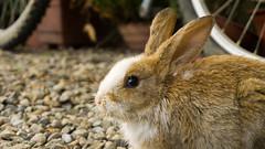 A punto de saltar (Miguel ngel Gutirrez Lpez) Tags: naturaleza conejo mascotas tranquilidad