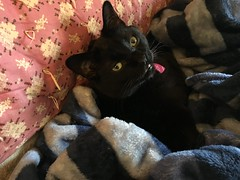 Mr Moe Chilling Out (pam's pics-) Tags: cameraphone pet comfortable cat blackcat feline colorado kitty denver couch sofa blanket co domesticcat comfy pammorris pamspics mobilephonephotography iphone6s