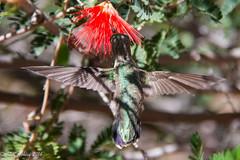 IMG_3193.jpg (ashleyrm) Tags: travel arizona birds museum sonora desert tucson hummingbirds birdwatching avian tucsonarizona hummingbirdaviary