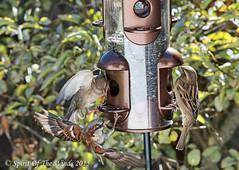 The Fight For Survival (jimgspokane) Tags: birds wildlife sparrows otw spokanewashingtonstate