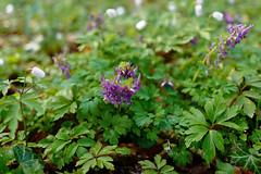 Buschwindrschen - 21-2016_Web (berni.radke) Tags: flower anemone bloom wald ranunculaceae bloosom buschwindrschen anemonenemorosa windflower blhen windrschen forestflowers hahnenfusgewchse
