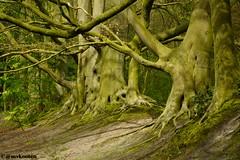 Wassenaar (MichelvanKooten.werkaandemuur.nl) Tags: trees holland tree forest bomen nederland boom bos wassenaar fagus beuken beuk fagussylvatica
