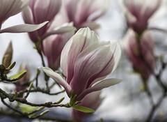 Dlicieux mois d'Avril ...(delightful April...) (Larch) Tags: pink france flower tree nature rose droplets dof depthoffield april magnolia avril arbre pdc blooming hautesavoie inbloom gouttesdeau floraison enfleur