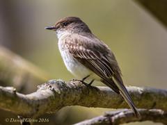Eastern Phoebe (Sayornis phoebe) (danielusescanon) Tags: wild maryland easternphoebe animalplanet sayornisphoebe buddyattickpark birdperfect