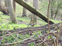 Wire Fence 2 (Wildlife Terry (Catching Up)) Tags: woodland spring watersmeet 2016 trentmerseycanal explorethis riverwheelock wheelockrailtrail wheelocksandbachcheshire wheelockbypass