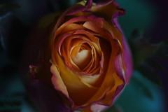 DSC_0862 Rose (PeaTJay) Tags: flowers roses plants macro nature rose gardens fauna reading flora sigma indoors micro closeups berkshire rosebuds lowerearley nikond750