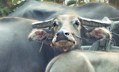 Water Buffalo (janetfo747 ~ Pray for Peace) Tags: hot work river ruins cambodia market farm dry angkorwat sap waterbuffalo oxcart tonle