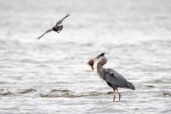 The Flyby (iPhilFlash) Tags: ca canada bird nature water animal animals vancouver outdoors outdoor britishcolumbia wildlife richmond marsh crow greatblueheron ardeaherodias wildbirds starryflounder