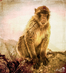 Barbary Macaque in Gibraltar (by Amy Davies, Plymouth, MA) Tags: texture rain monkey spain workshop april wildanimal gibraltar 2016 barbaryape wetmonkey rockape