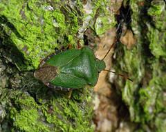 Common Green Shieldbug - Palomena prasina (erdragonfly) Tags: palomenaprasina