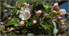 (Fay2603) Tags: pink blue light sky plant flower green apple nature leaves licht blossom outdoor natur pflanze rosa himmel stamens gelb buds grn blau blte bltter tender rosee knospen zart apfelblte staubgefse